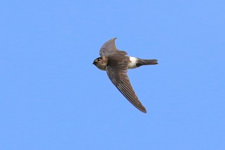 - White-rumped Swiftlet