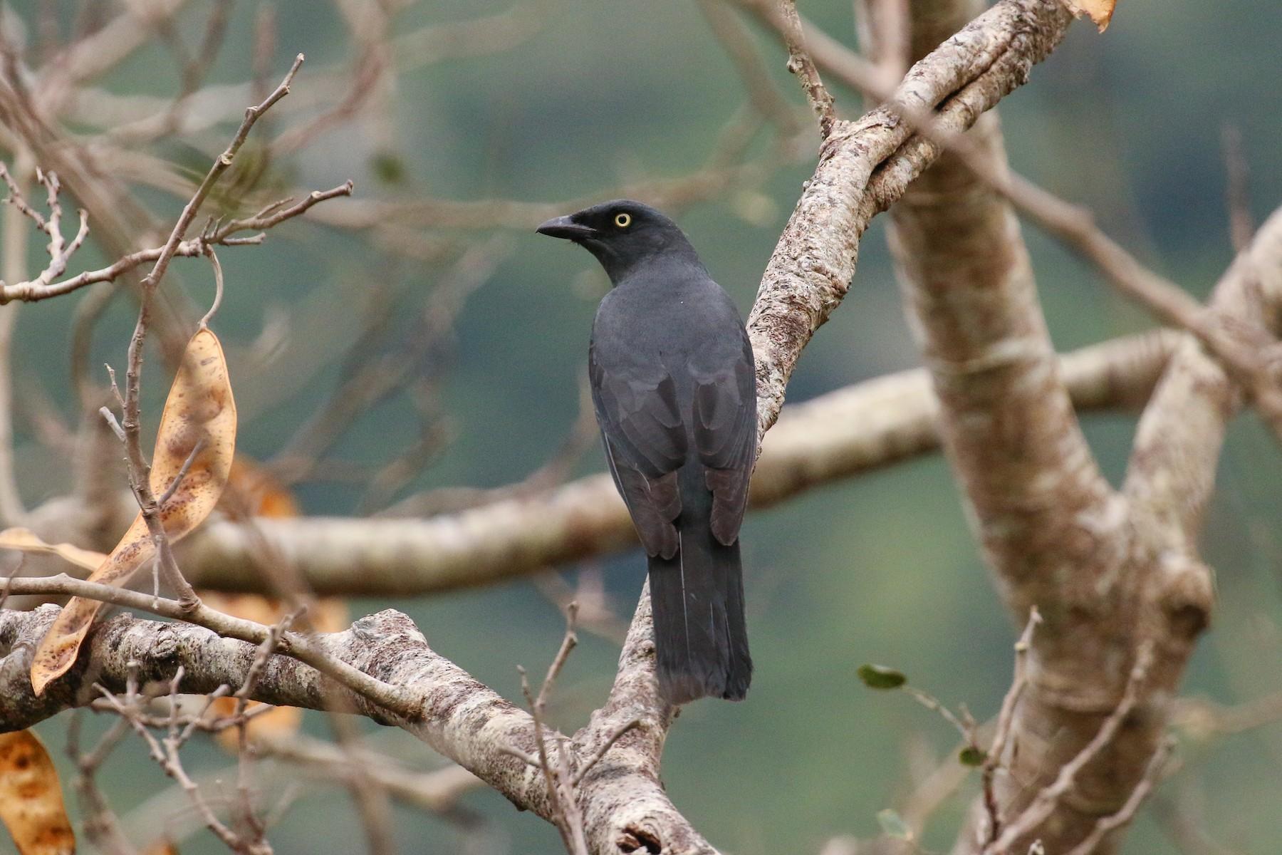 South Melanesian Cuckooshrike - Tommy Pedersen