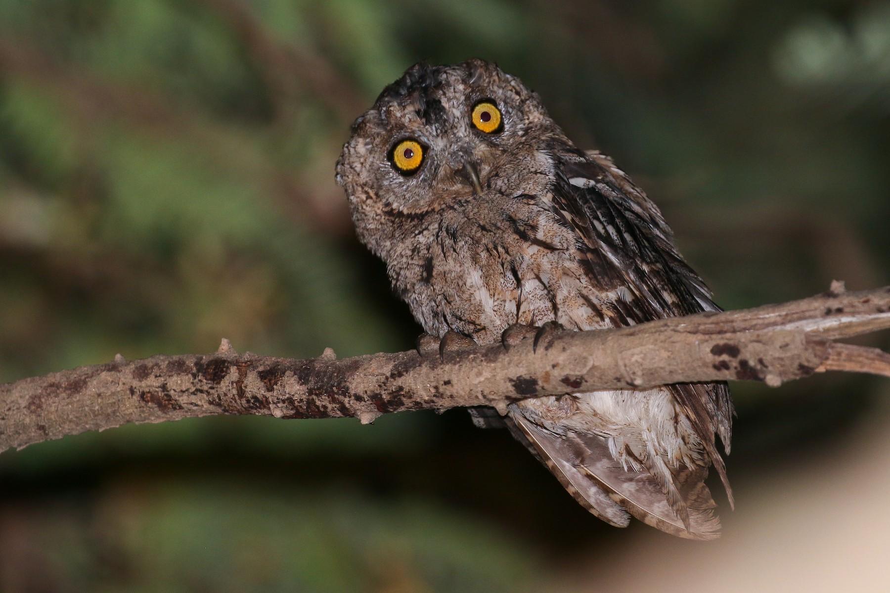 Arabian Scops-Owl - Tommy Pedersen