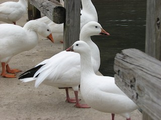 Snow Goose, ML20138911