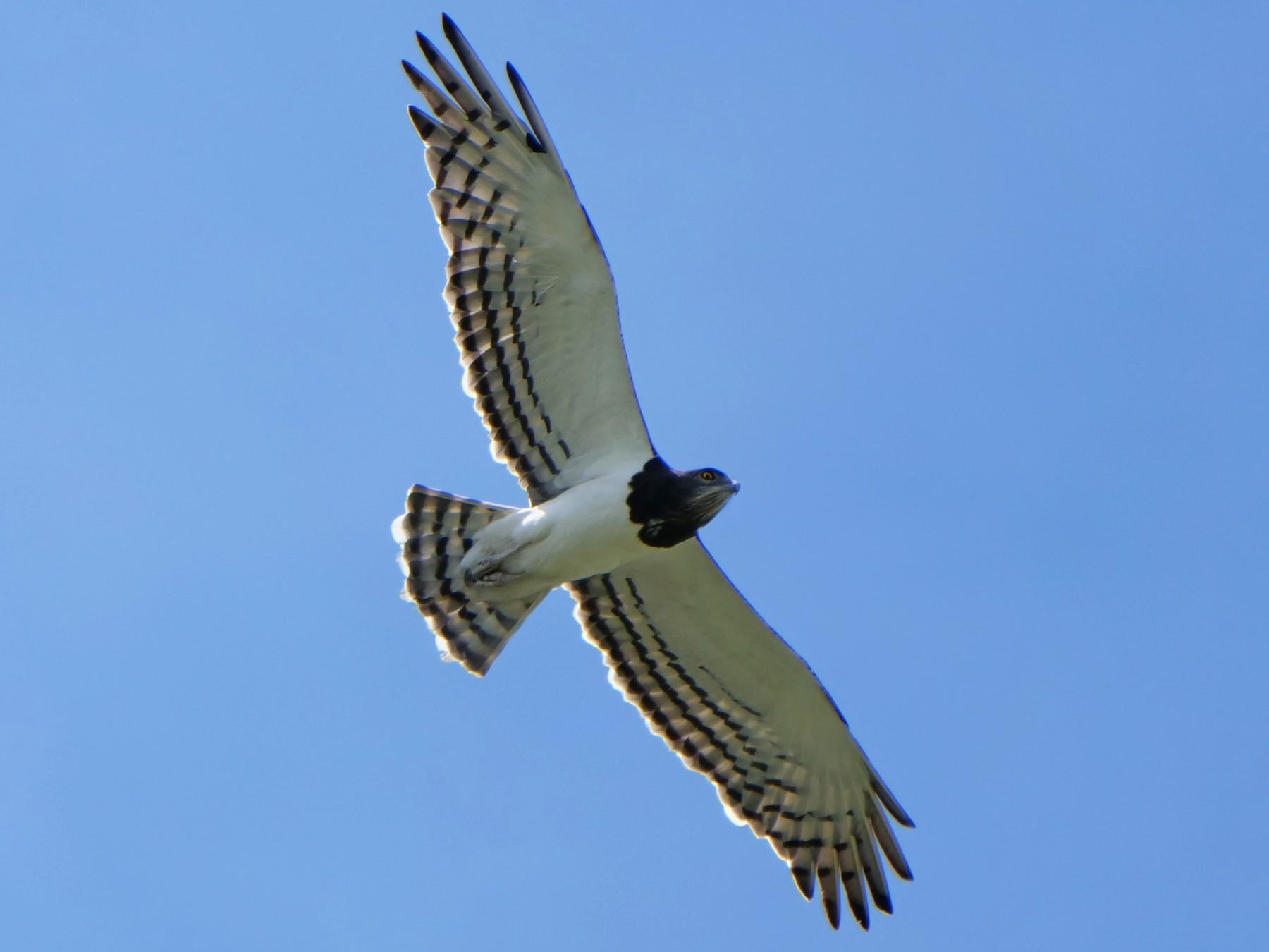 Black-chested Snake-Eagle - Mike Grant