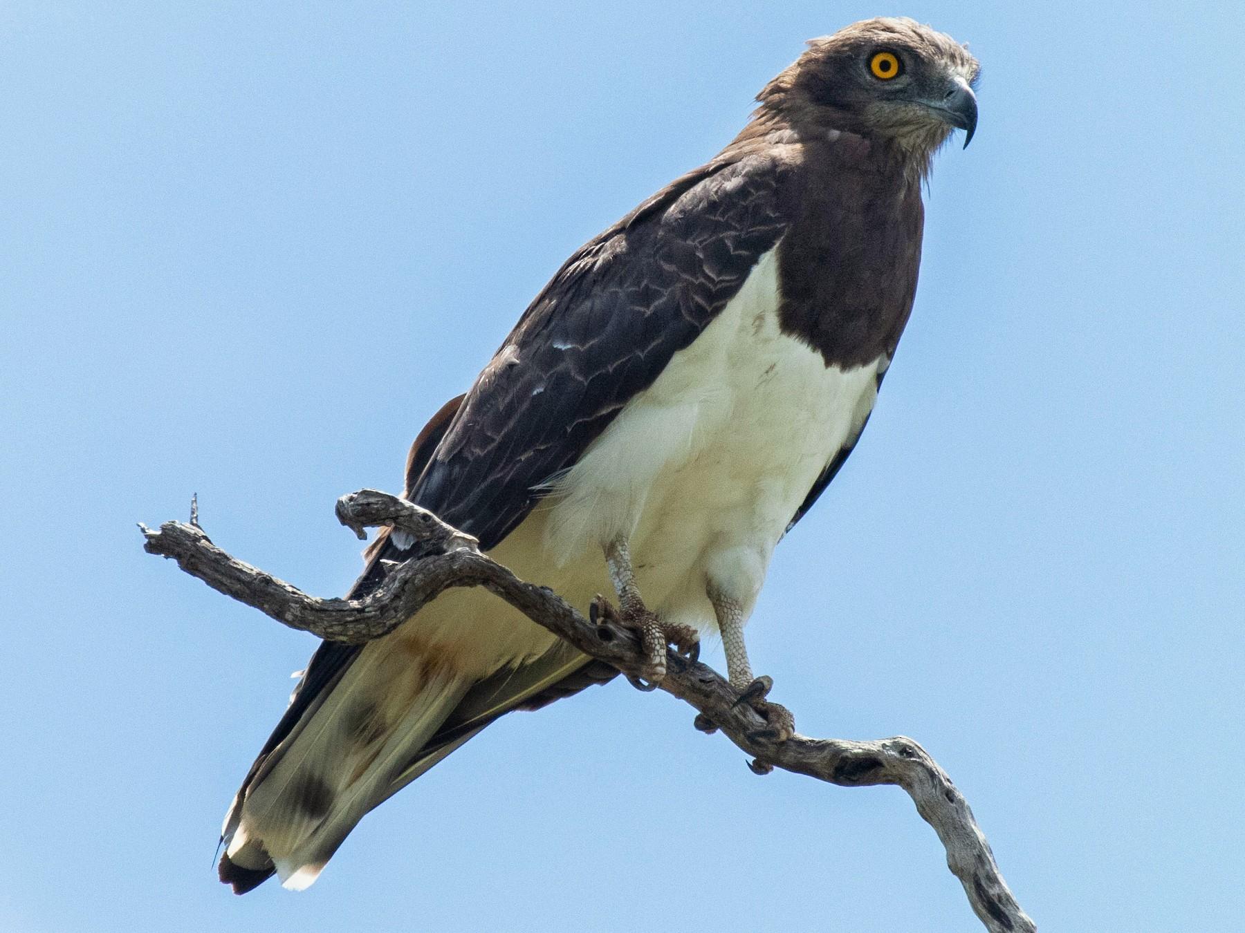 Black-chested Snake-Eagle - Dixie Sommers