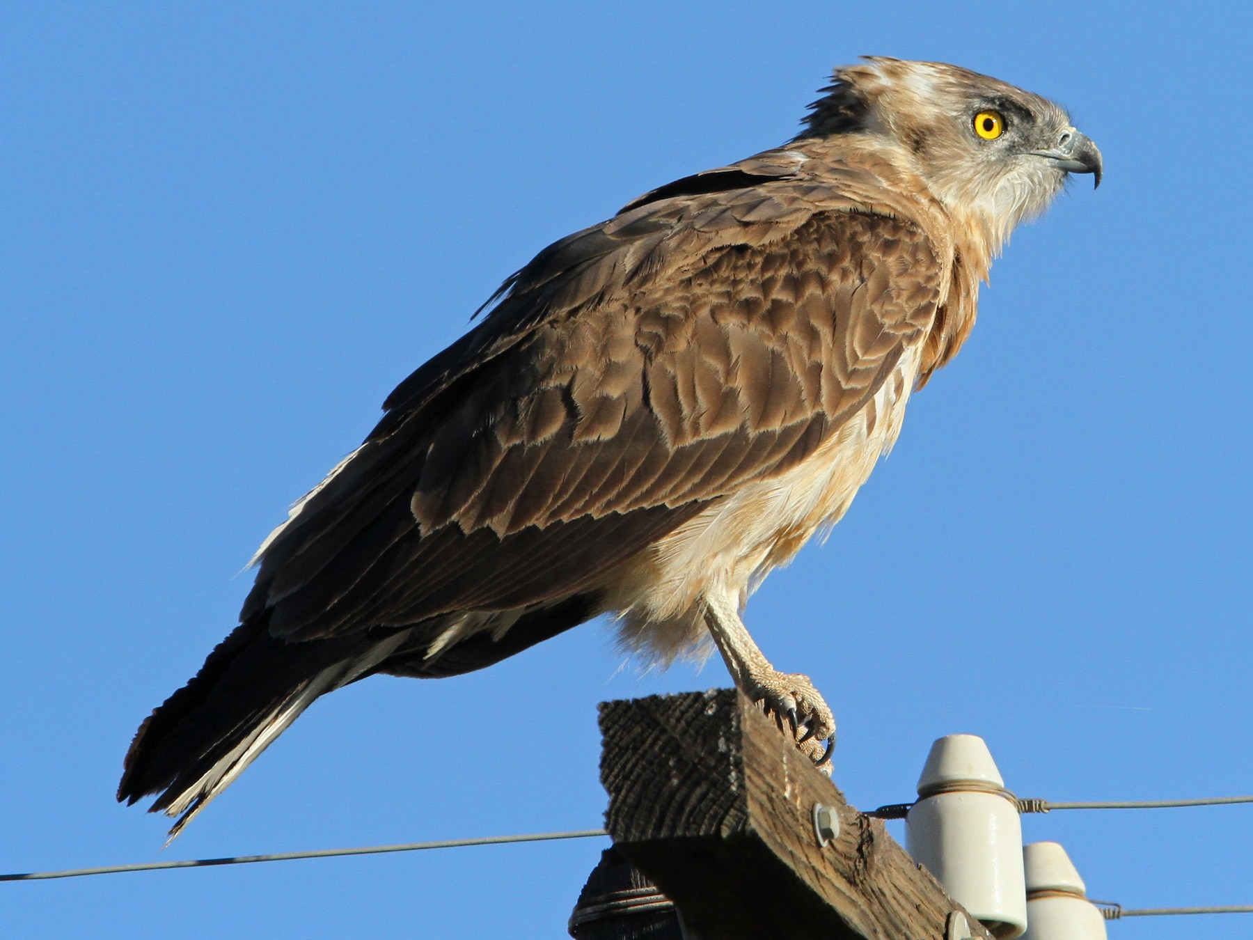 Black-chested Snake-Eagle - Christoph Moning