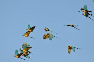 - Blue-throated Macaw