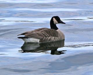 Canada Goose, ML202247641