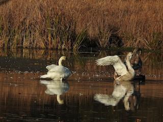 Mute Swan, ML202325611