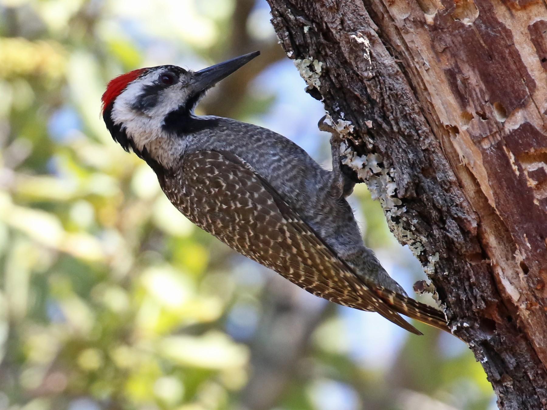 Bearded Woodpecker - Laurent Esselen
