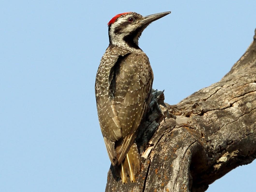 Bearded Woodpecker - Nigel Voaden