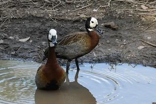 White-faced Whistling-Duck, ML202390571