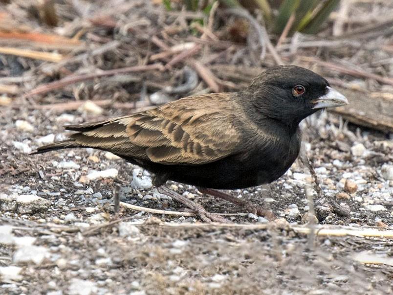 Black-eared Sparrow-Lark - Bruce Ward-Smith