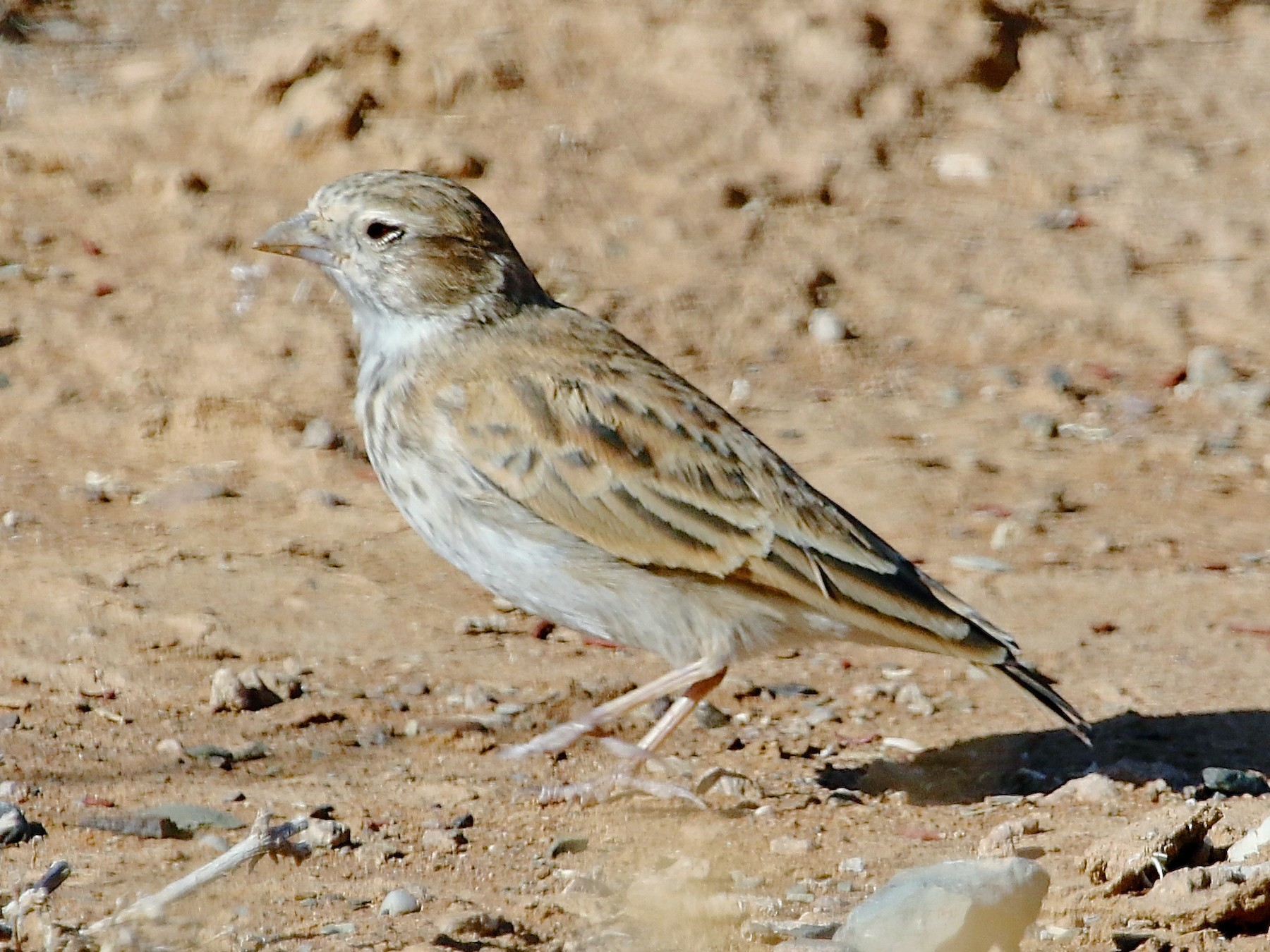 Black-eared Sparrow-Lark - Gil Ewing
