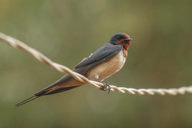 Barn Swallow (Buff-bellied)