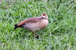 Egyptian Goose, ML202554741