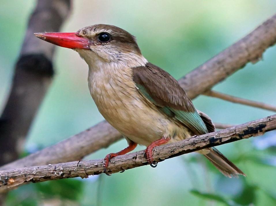 Brown-hooded Kingfisher - Nigel Voaden
