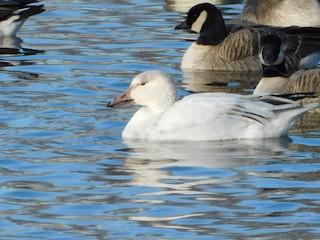 Snow Goose, ML202622221