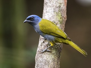 - Blue-capped Tanager