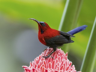 - Magnificent Sunbird