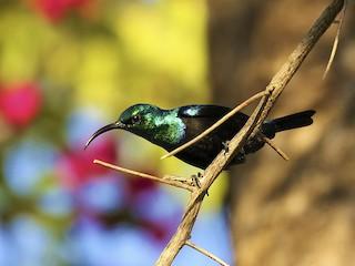 - Madagascar Sunbird