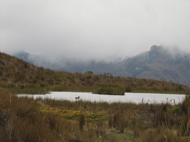 Andean Teal