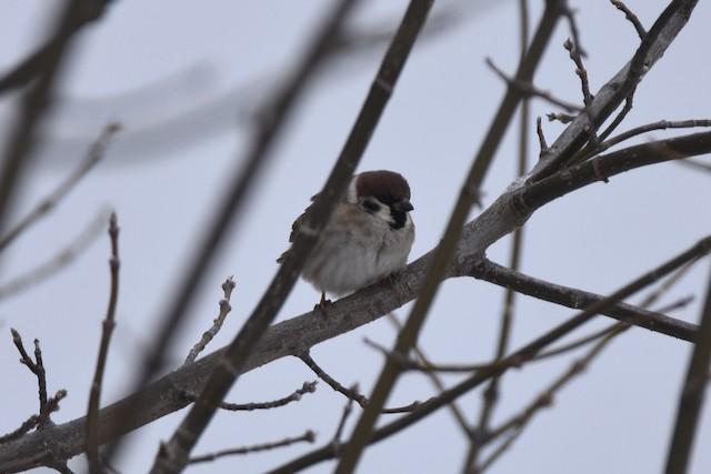 ©Pete Monacell - Eurasian Tree Sparrow