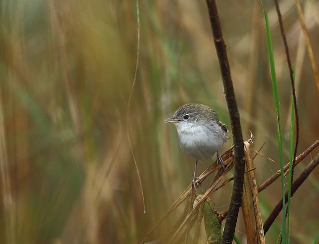Swamp Grass Babbler