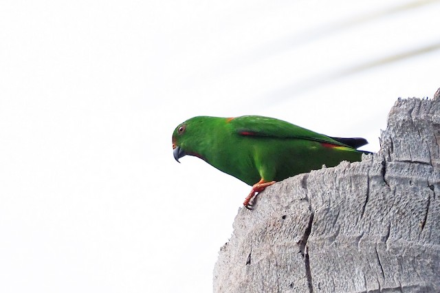 Sula Hanging-Parrot