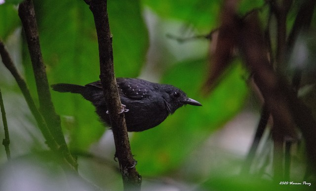 Spot-winged Antbird