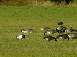 Barnacle Goose, ML20313961