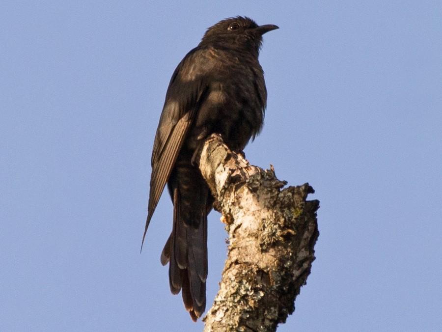 Black Cuckoo - Simon Carter