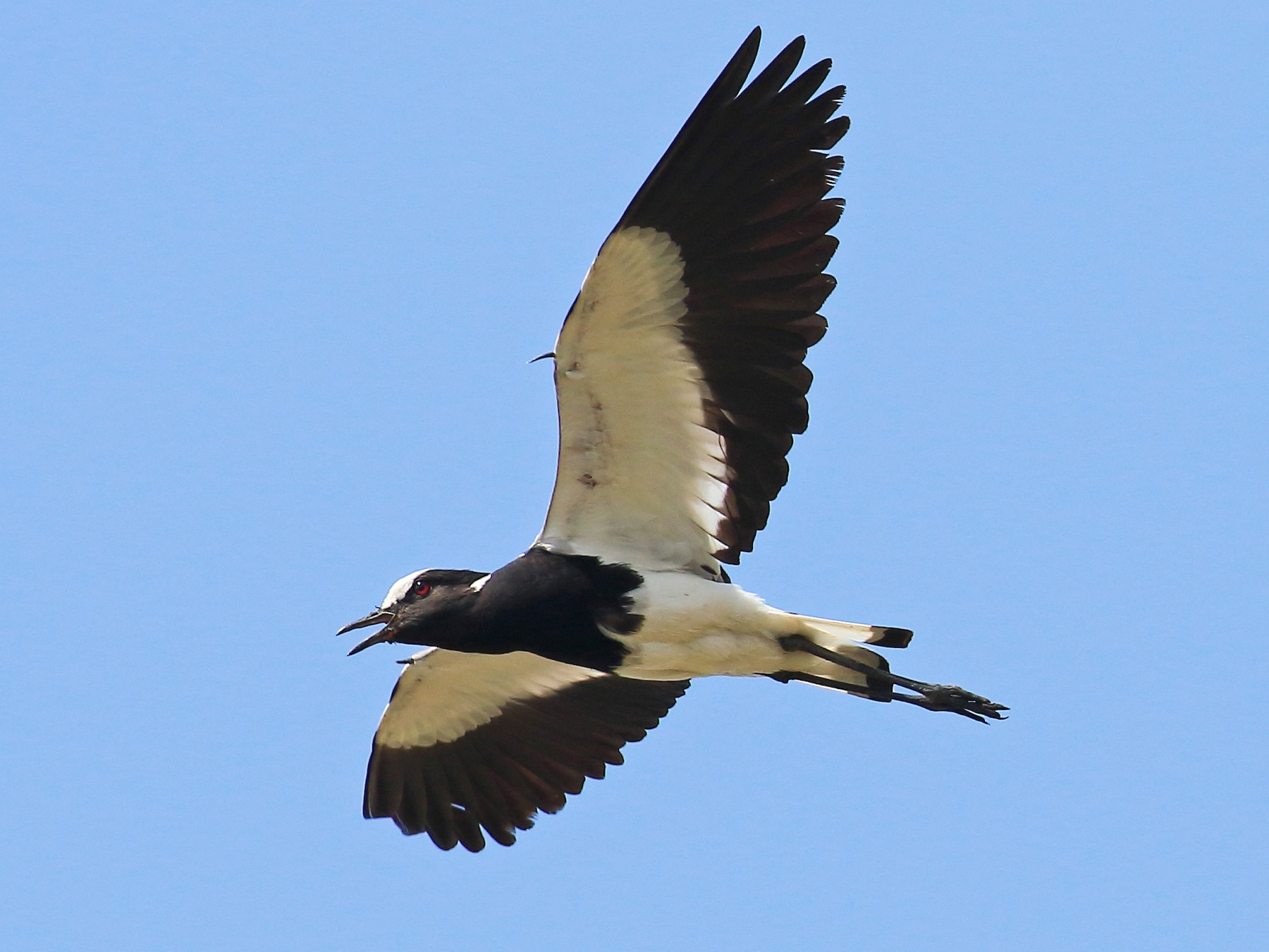Blacksmith Lapwing - Robert  Johnson