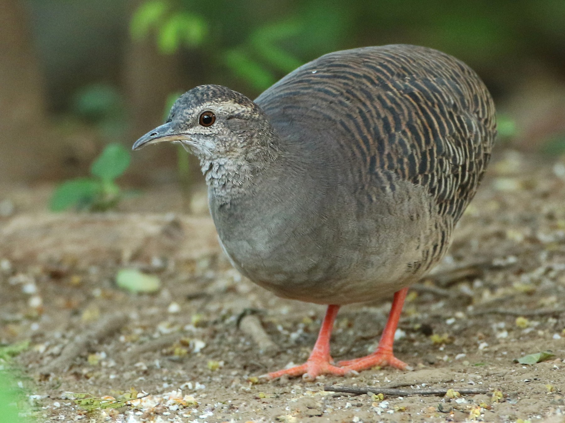 Pale-browed Tinamou - Luke Seitz