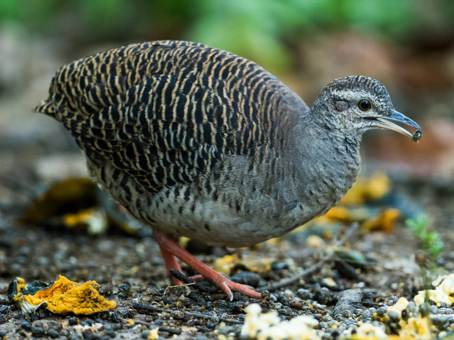 Pale-browed Tinamou - Nick Athanas
