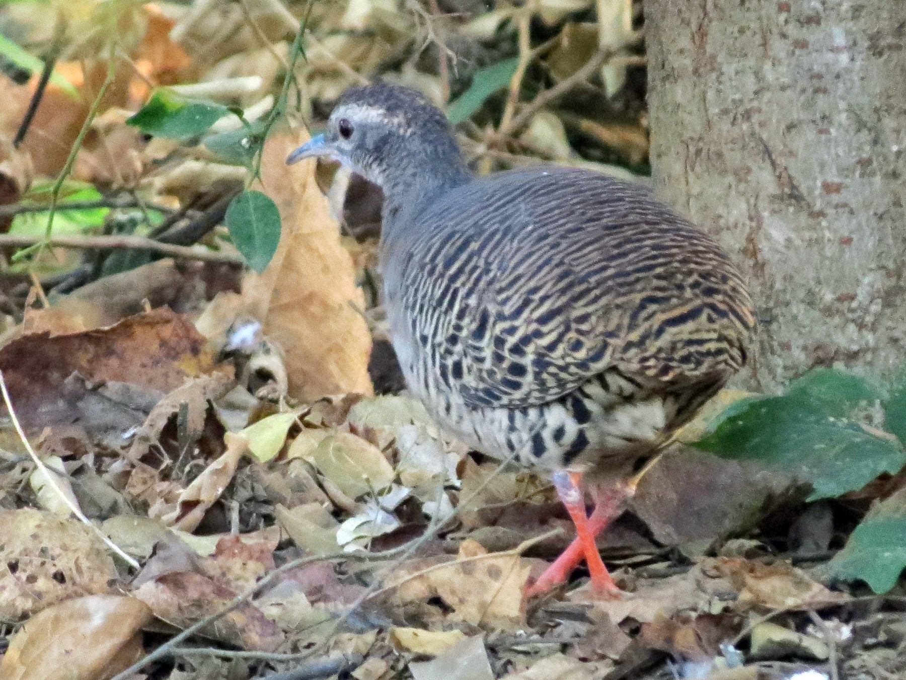 Pale-browed Tinamou - Diane Morton