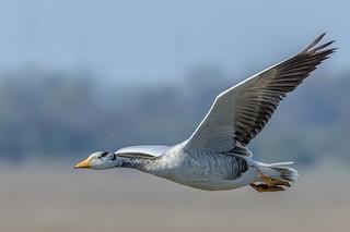Bar-headed Goose, ML203257201