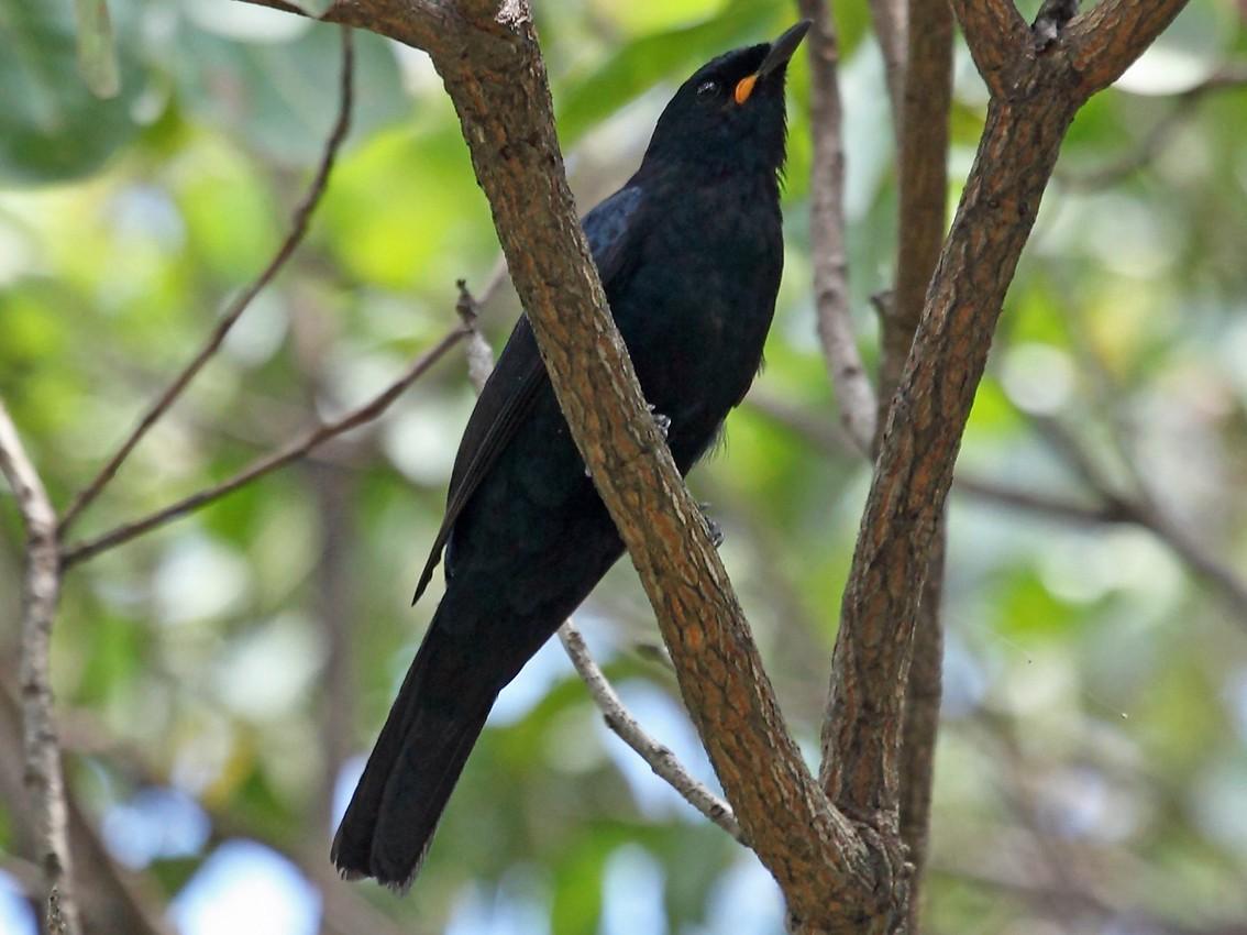 Black Cuckooshrike - Nigel Voaden