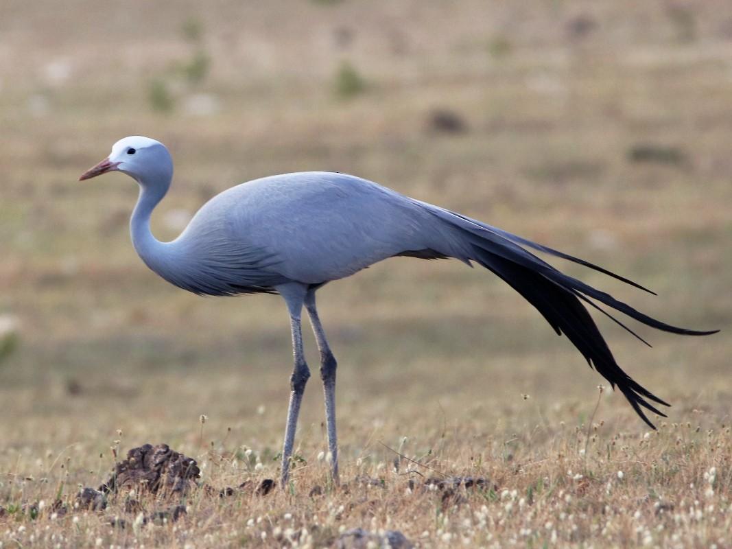 Blue Crane - Bez Bezuidenhout