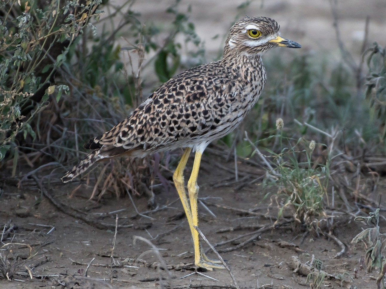 Spotted Thick-knee - Debra Herst