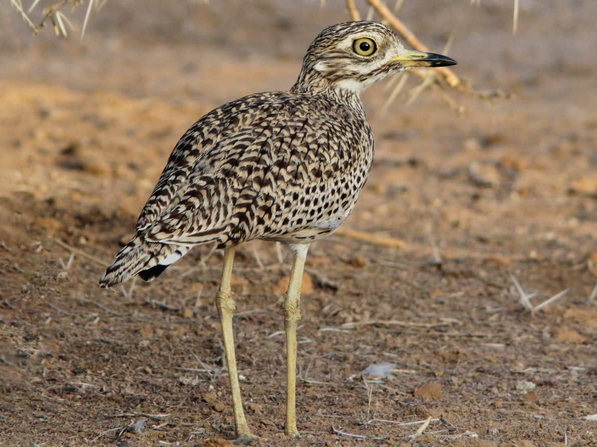Spotted Thick-knee - Richard Dunn