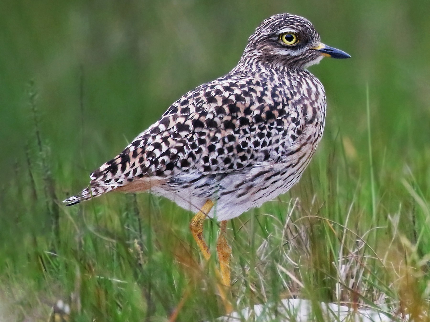 Spotted Thick-knee - Andrew Spencer