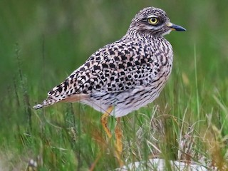 - Spotted Thick-knee