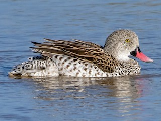 - Cape Teal