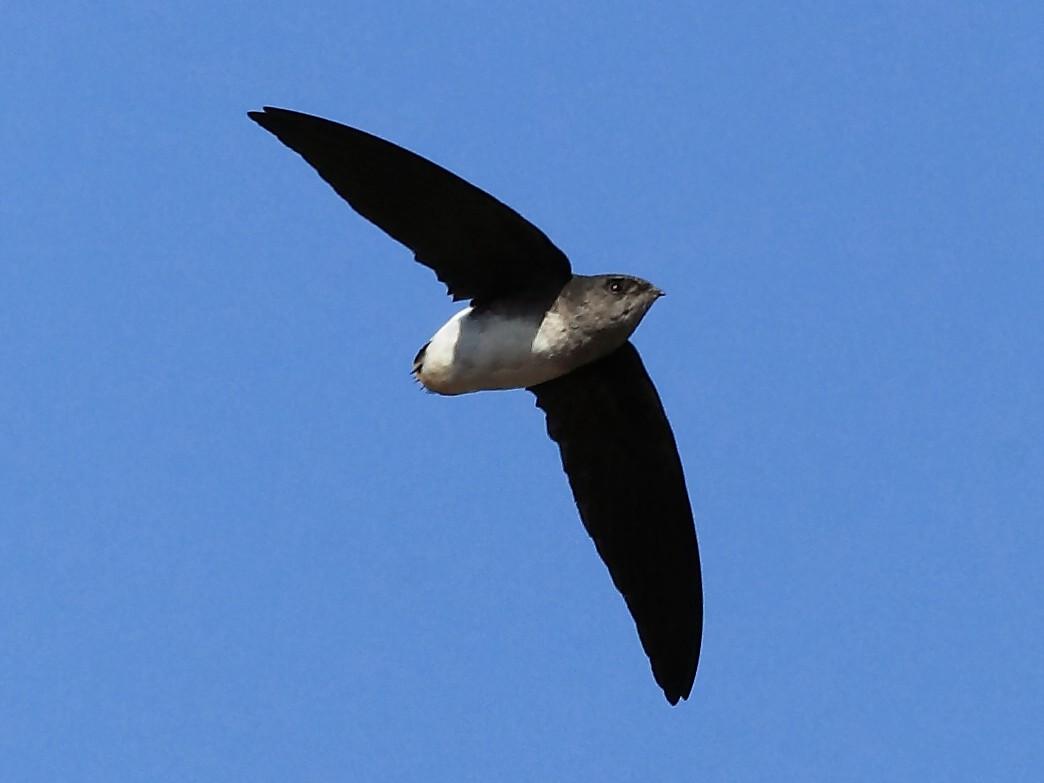 Bat-like Spinetail - Nigel Voaden
