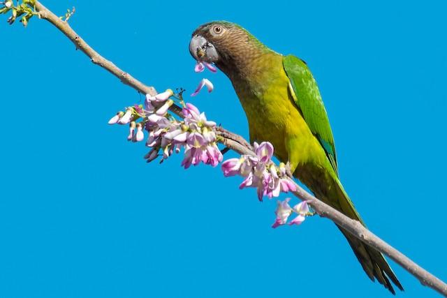 Brown-throated Parakeet