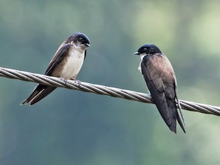 - Black-capped Swallow