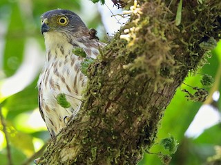 - Rufous-necked Sparrowhawk