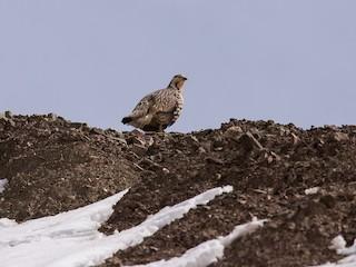 - Himalayan Snowcock