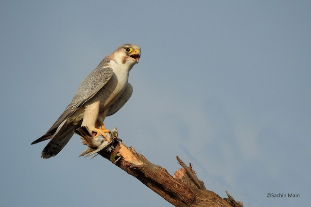 Peregrine Falcon (Red-capped)