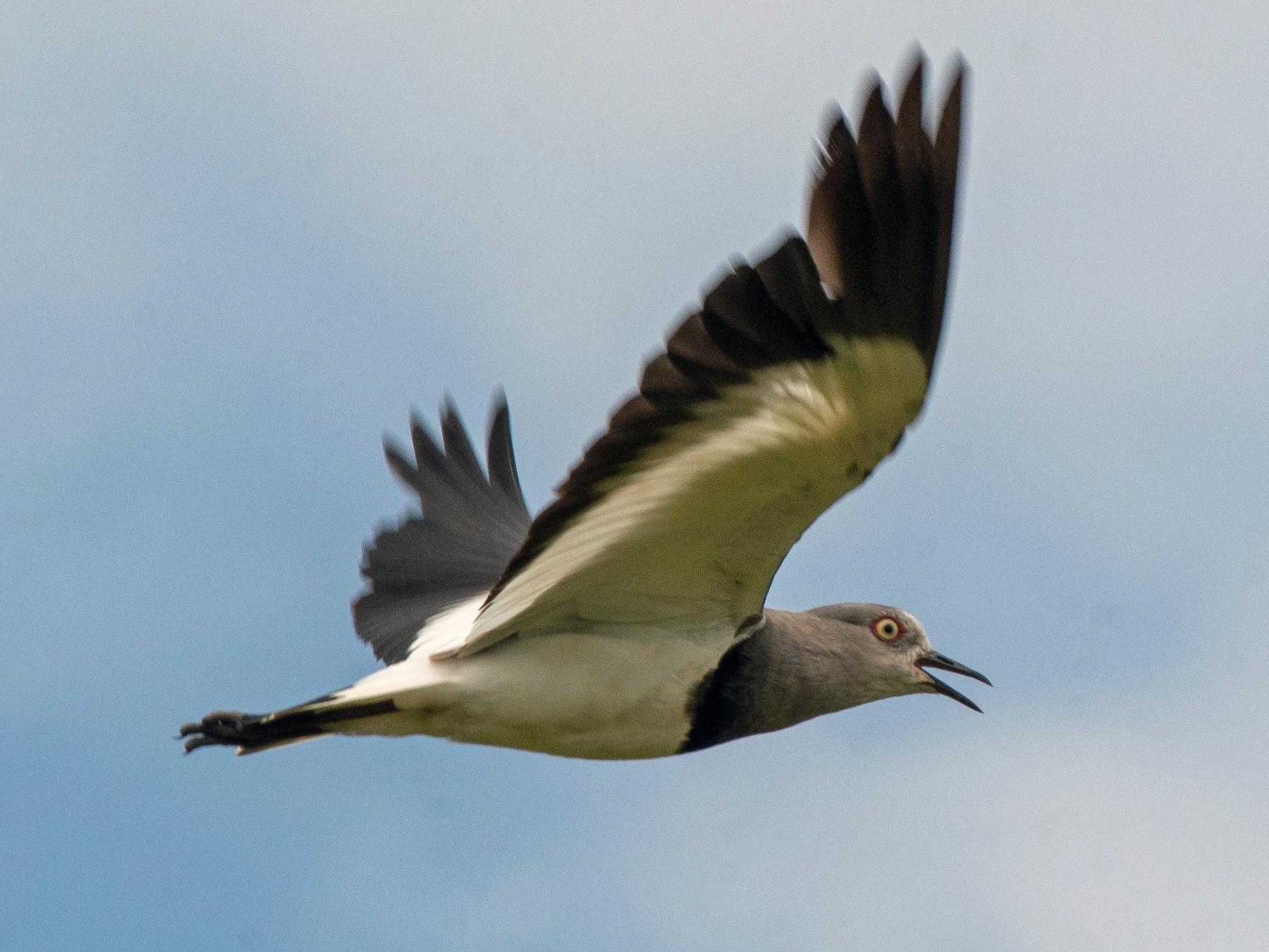 Black-winged Lapwing - Ana Paula Oxom