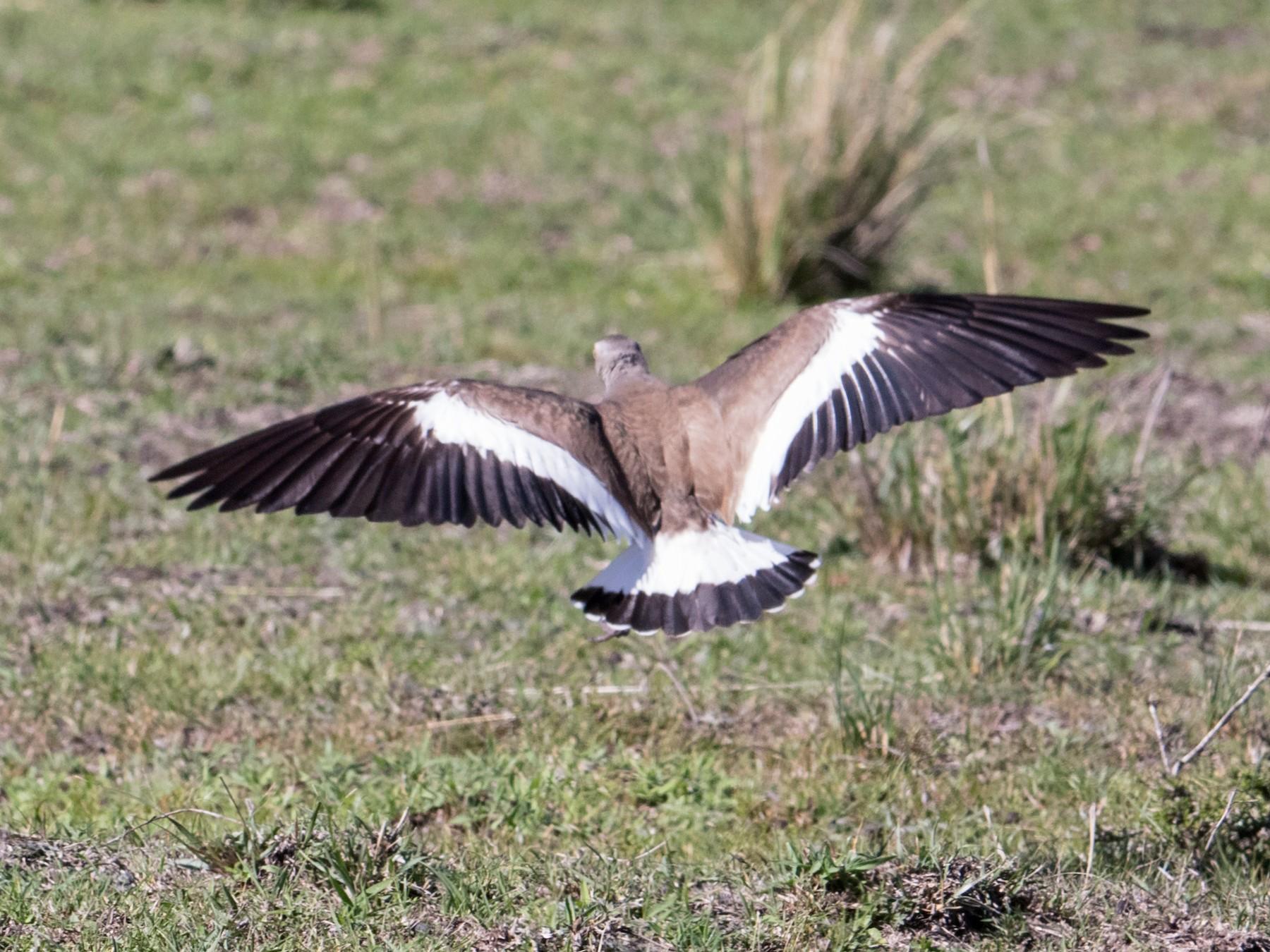 Black-winged Lapwing - Peter  Steward