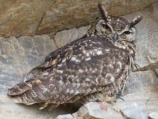 - Cape Eagle-Owl